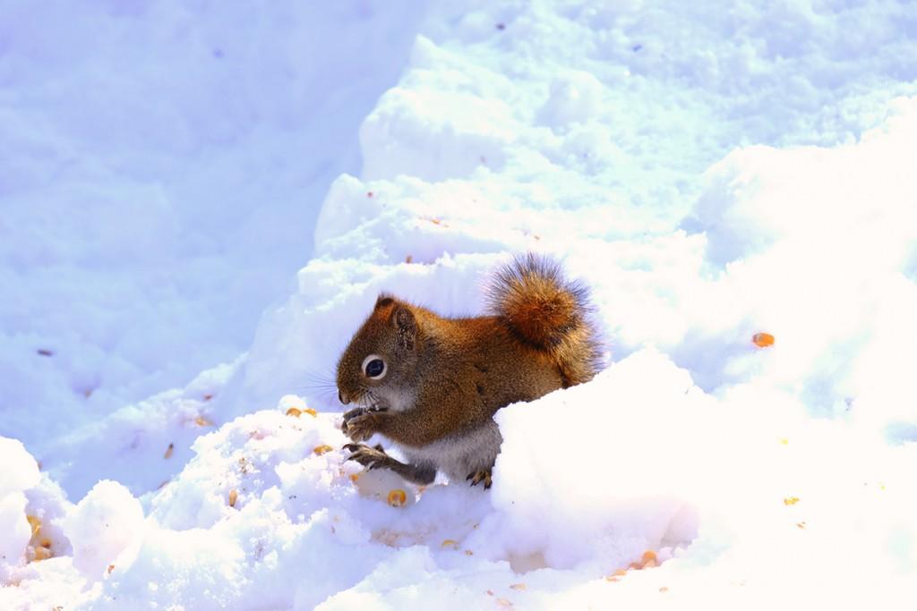 Refuse to hibernate Parc Oméga écureuil dans la neige