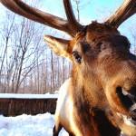 Refuse to hibernate Parc Oméga cerf gros plan