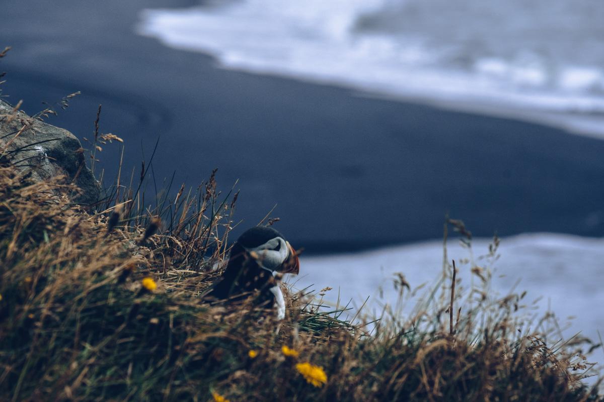Refuse to hibernate islande macareu plage dyrholaey