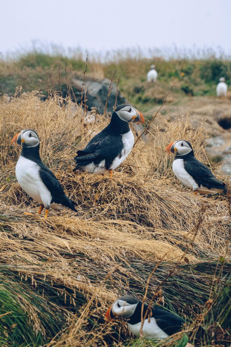 Refuse to hibernate islande macareux