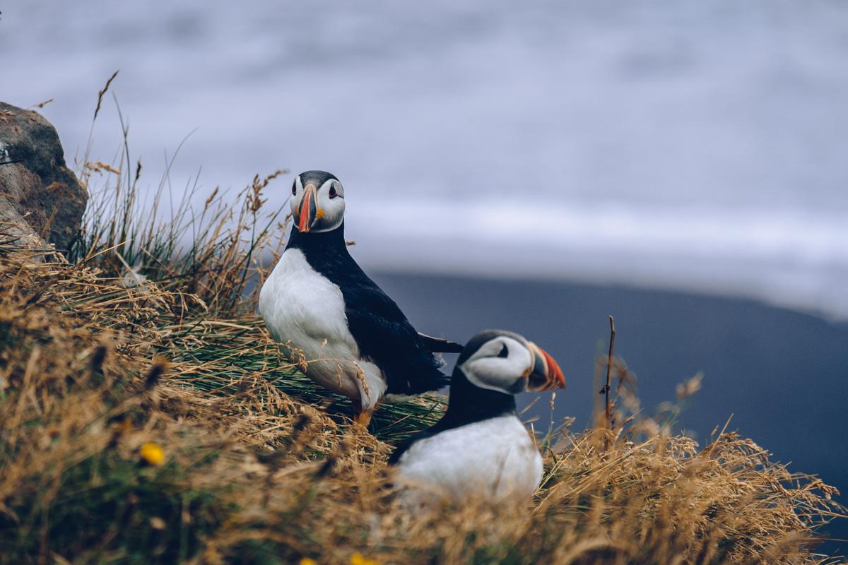 Refuse to hibernate islande macareux plage dyrholaey