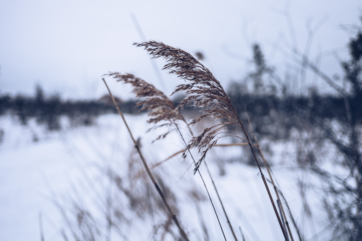 Refuse to hibernate Cantons de l'Est Magog sentier du marais de la rivière aux cerises roseau