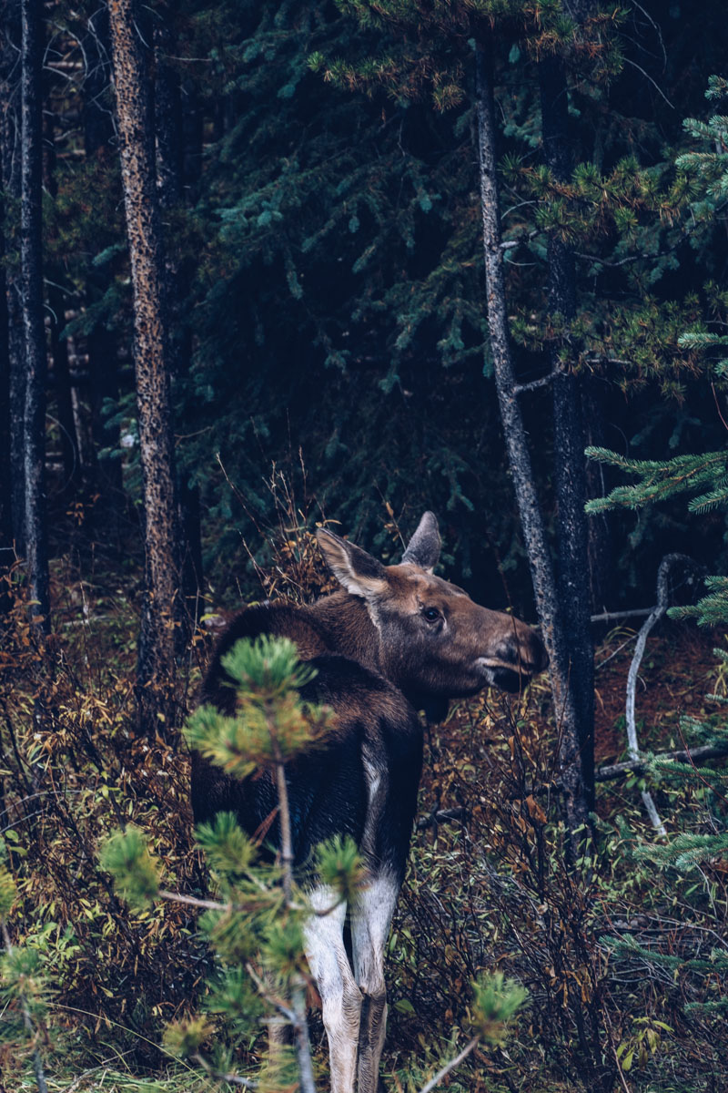 Refuse to hibernate Ouest canadien bebe orignal dans les bois
