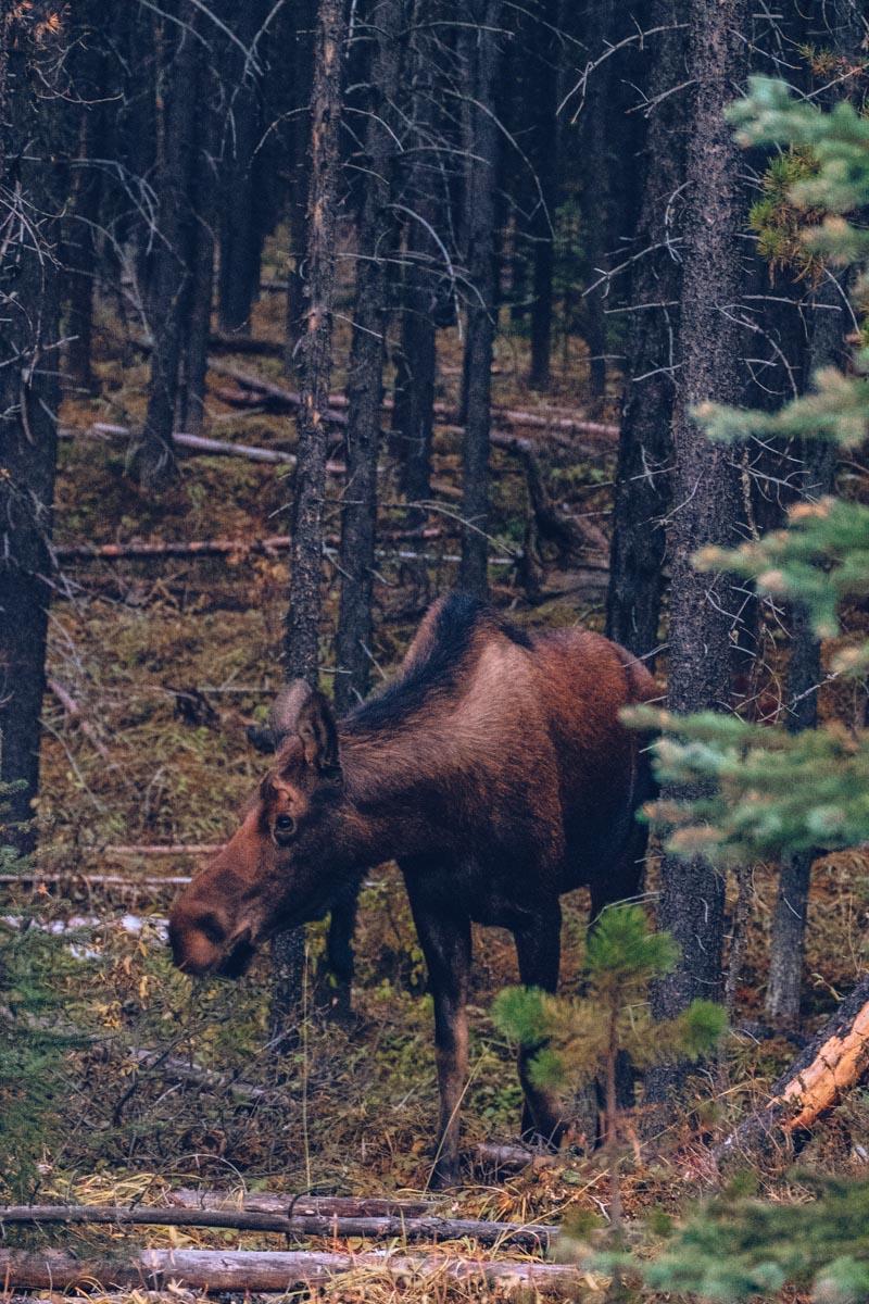 Refuse to hibernate Ouest canadien orignal dans les bois