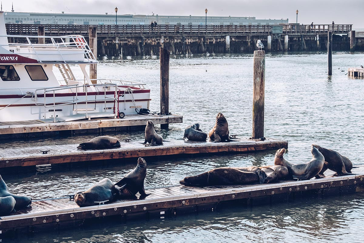 Refuse to hibernate San Francisco Pier 39 otaries