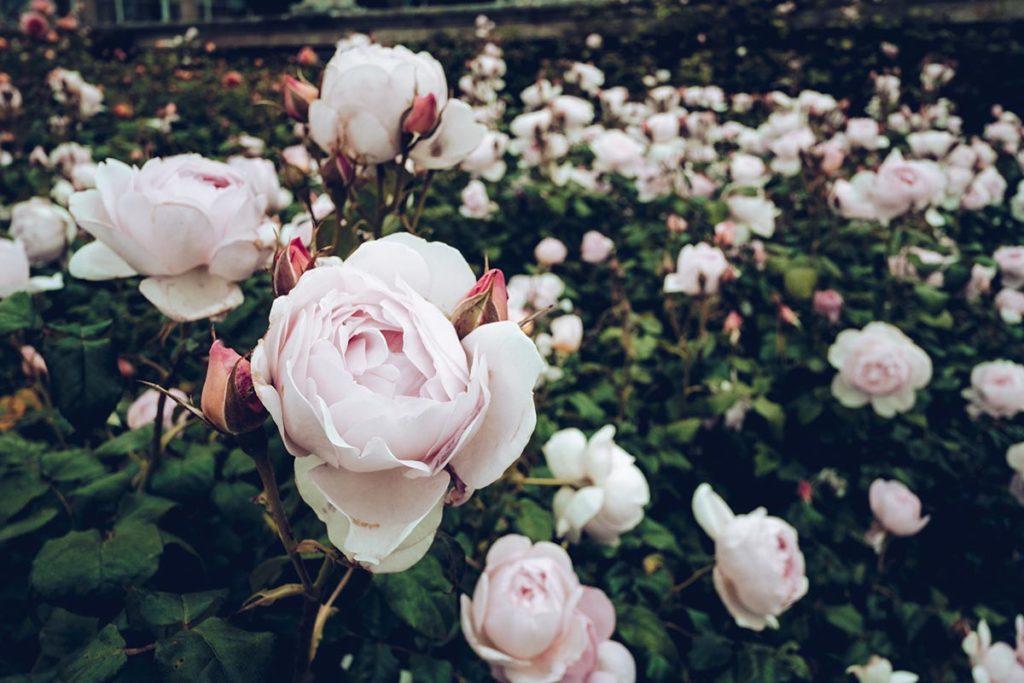 Refuse to hibernate Pays de Galles bodnant gardens roses