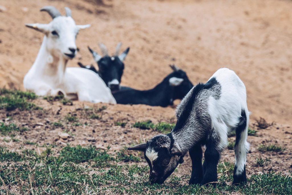 Refuse to hibernate Sancerre chèvrerie brissauderie chèvres