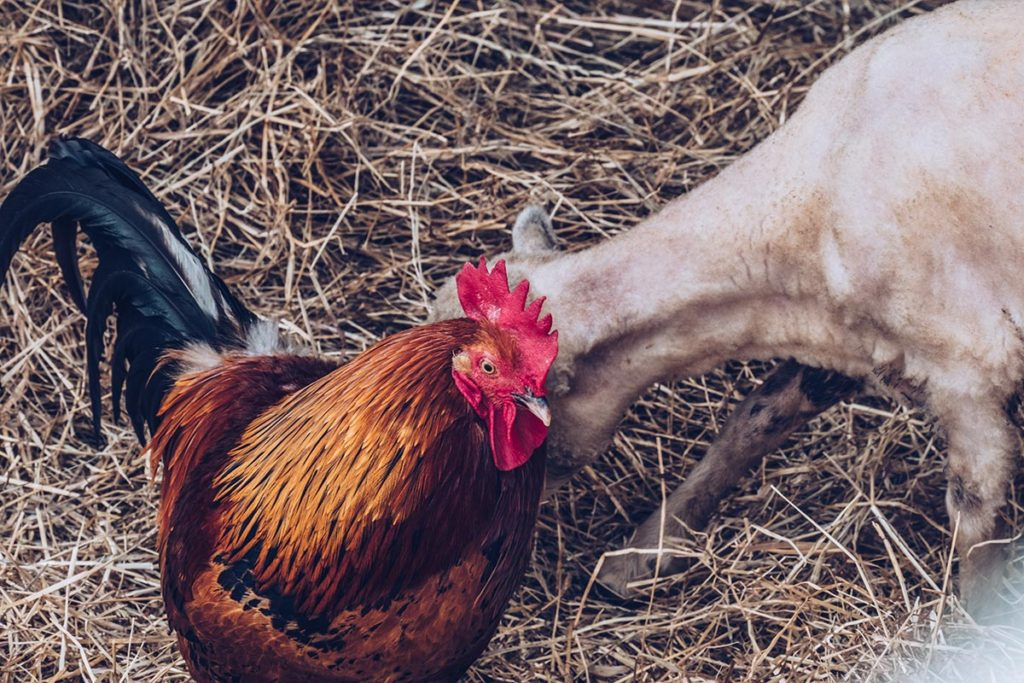 Refuse to hibernate Sancerre chèvrerie brissauderie coq