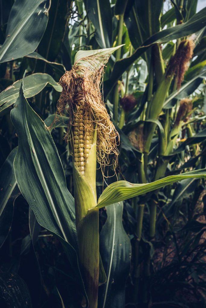 Refuse to hibernate Sancerre chèvrerie brissauderie labyrinthe focus maïs
