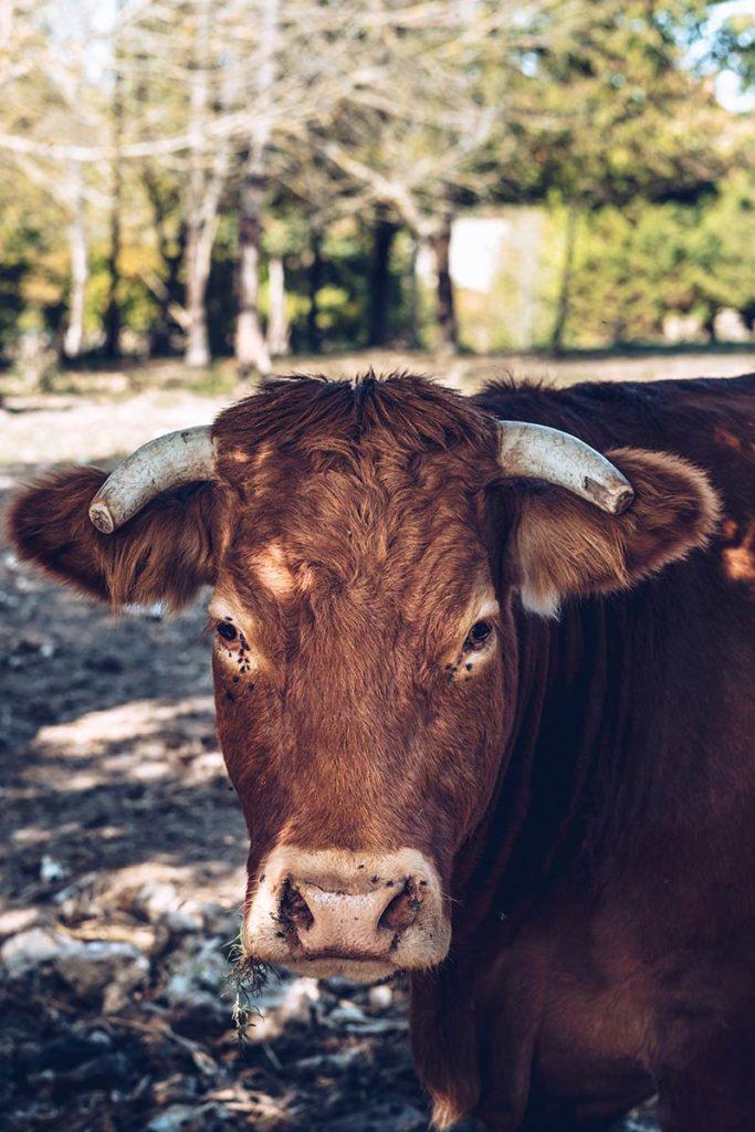 Eure-et-Loir les balcons du Perche vache Refuse to hibernate