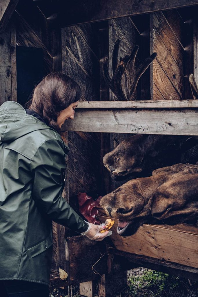 Refuse to hibernate Québec Refuse Pageau Audrey nourrit les orignaux