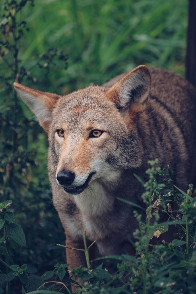Refuse to hibernate Québec Refuse Pageau coyote