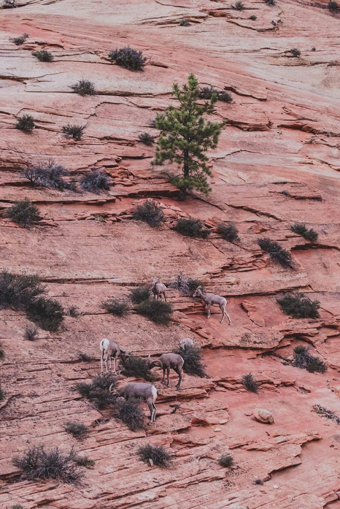 Utah Zion National Park bouquetins Refuse to hibernate