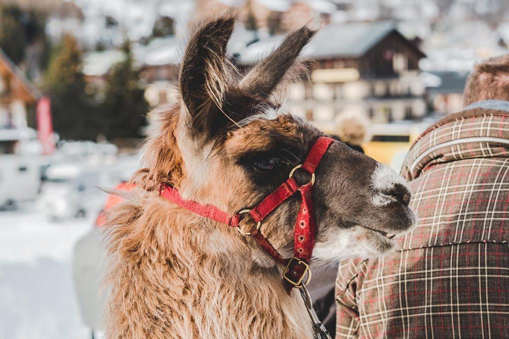 Valloire refuse to hibernate balade avec des lamas Tchupi