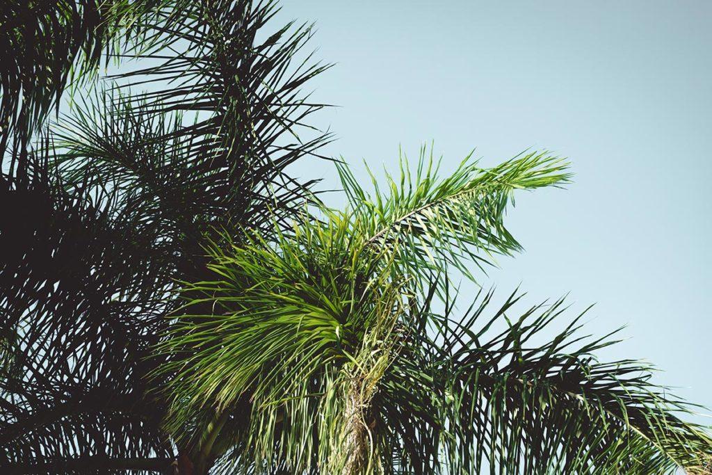 Valladolid palmier Refuse to hibernate