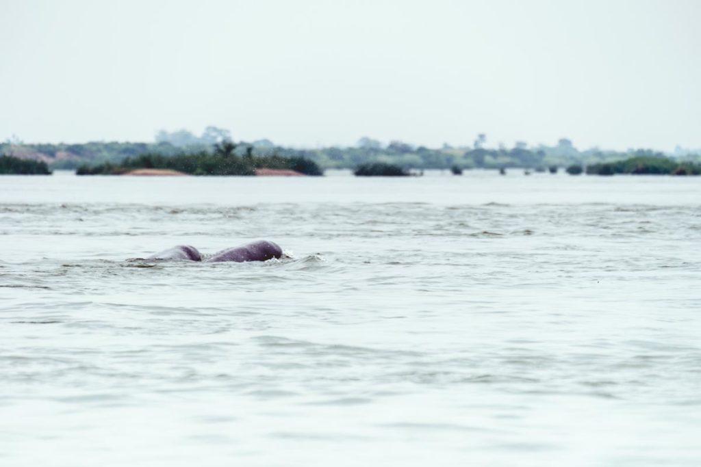 Cambodge Kratie dauphin Refuse to hibernate