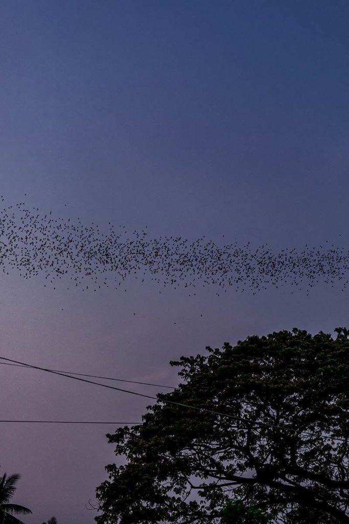 Battambang chauves-souris Refuse to hibernate