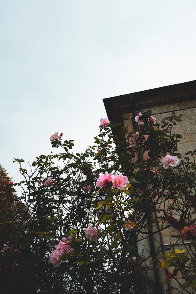roses abbaye Saint-Jean-aux-Bois