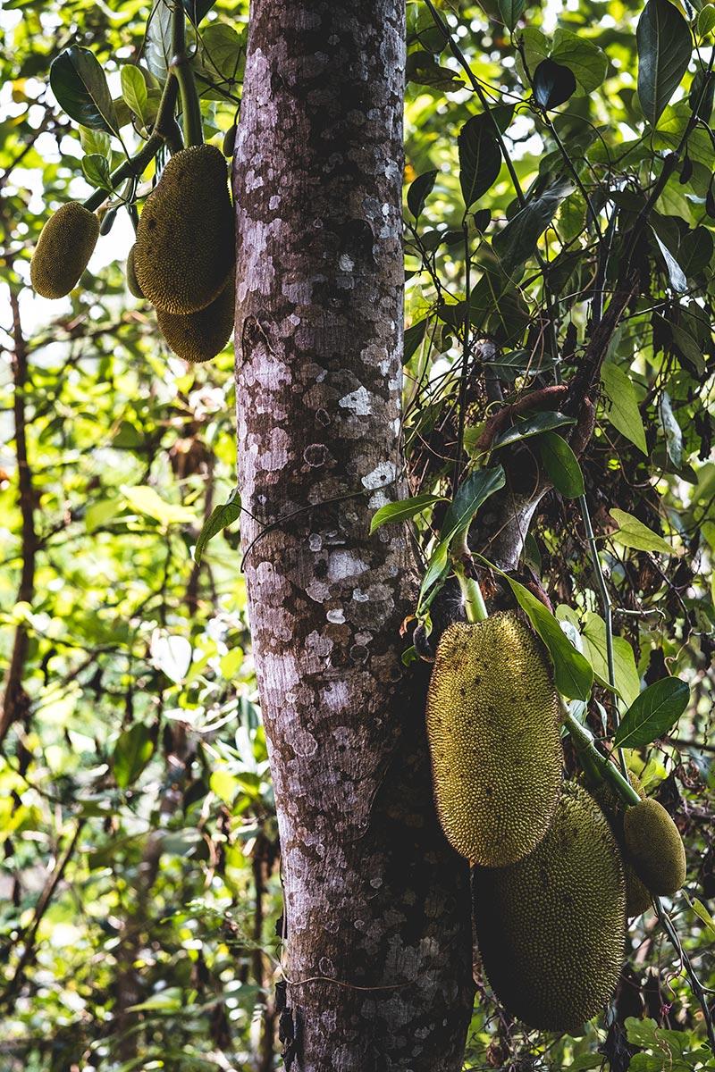 arbre jacquier Mondulkiri Refuse to hibernate