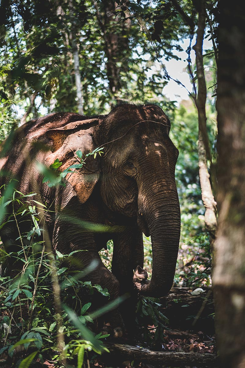 éléphant dans la jungle Mondulkiri Refuse to hibernate