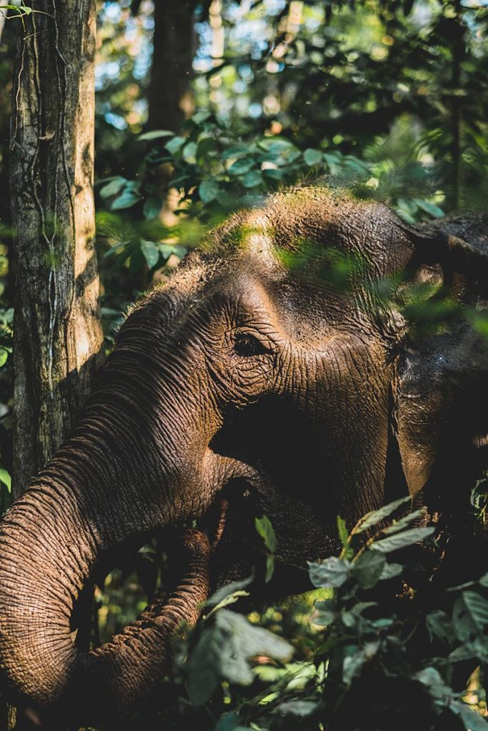 éléphant se nourrissant de feuilles Mondulkiri Refuse to hibernate
