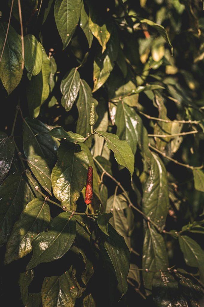 poivre long rouge Kampot Refuse to hibernate