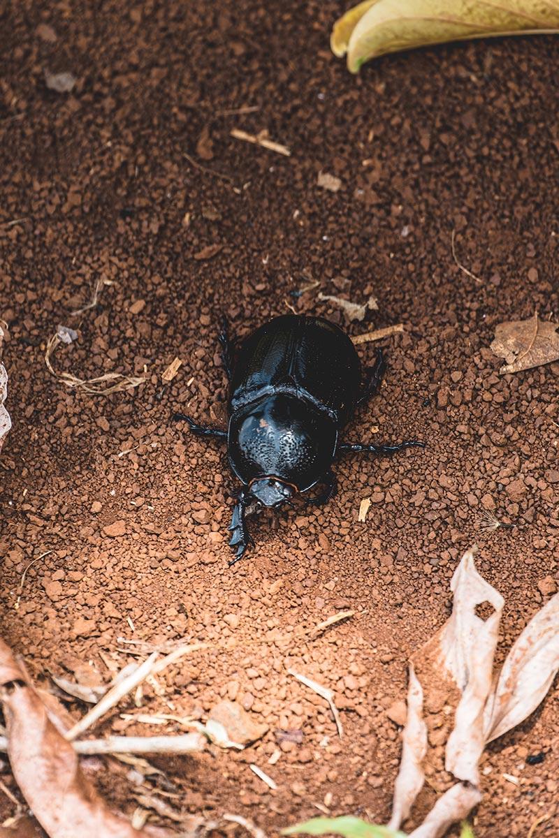 scarabée Mondulkiri Refuse to hibernate