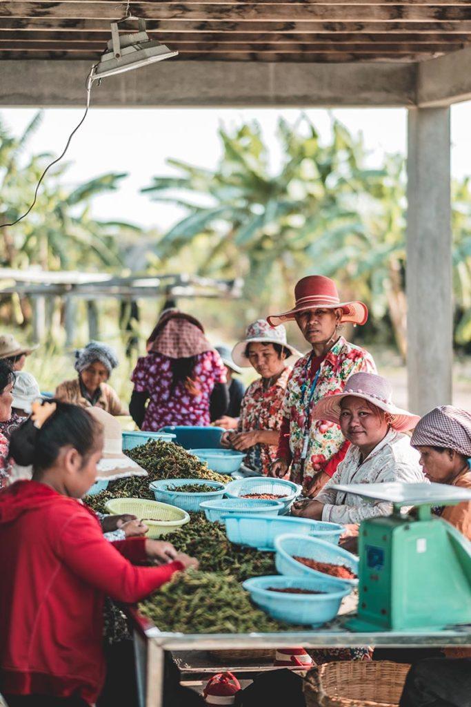 tri du poivre Kampot par les cambodgiennes Refuse to hibernate