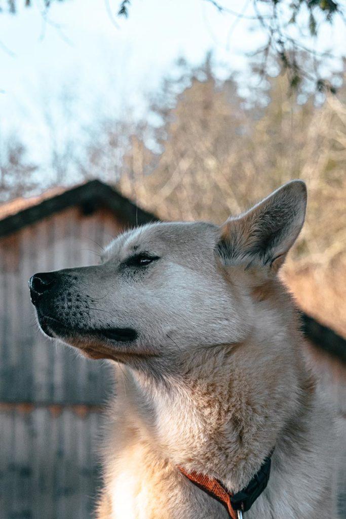 cani-rando à Nanchez Terre et Neige chien Béru Jura Refuse to hibernate
