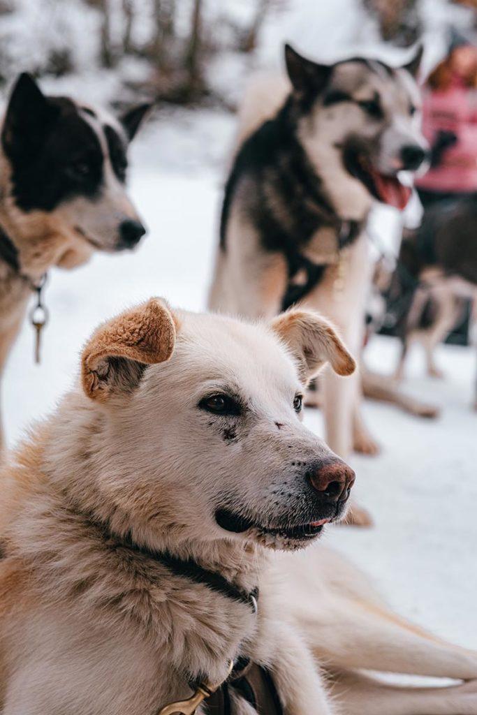 chiens après la balade Traineaux Passion Alpes du Léman Refuse to hibernate