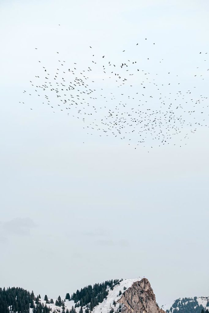 nuées de corneilles noires au dessus des Alpes du Léman Refuse to hibernate