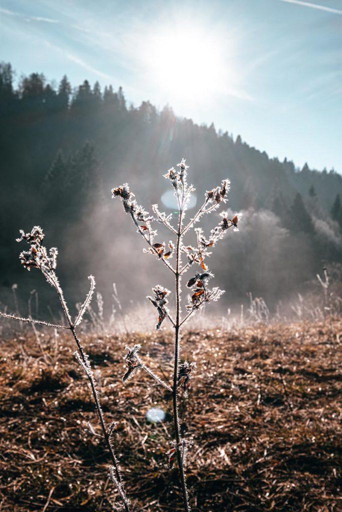 végétation gelée cani-rando à Nanchez Jura Refuse to hibernate