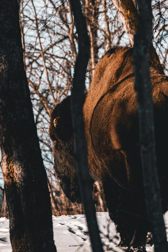 Elk Island national park bison de dos Edmonton Refuse to hibernate
