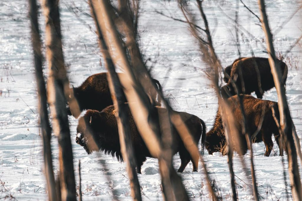 Elk Island national park bisons à travers les arbres Edmonton Refuse to hibernate