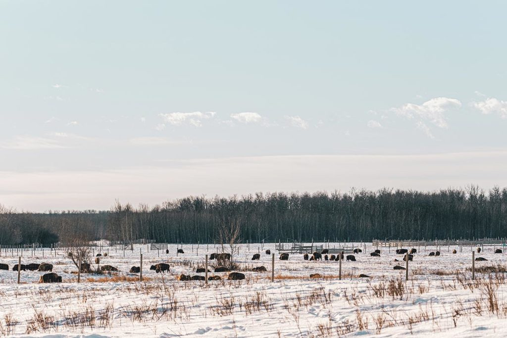 Elk Island national park troupeau de bisons Edmonton Refuse to hibernate
