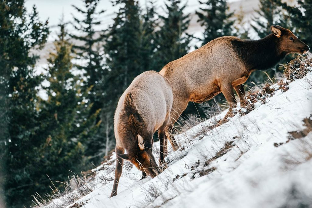 Benchlands Trail cerfs Canmore Refuse to hibernate