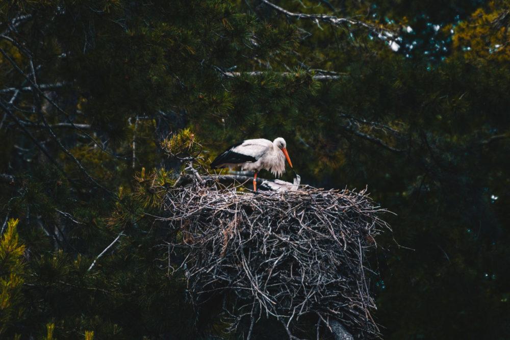 cigogne et son bébé Parc du Marquenterre